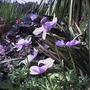 spring anemones