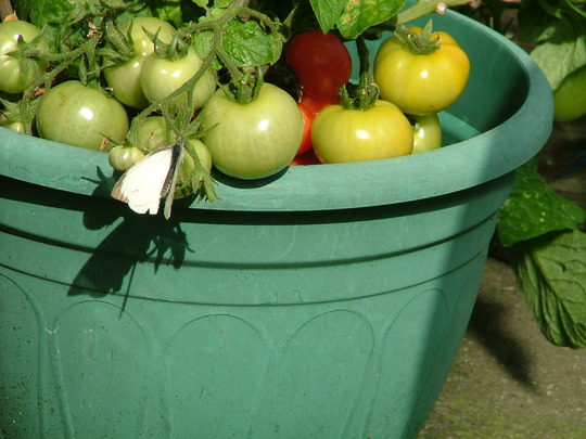 white butterfly on tomato