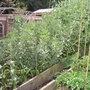 broad beans (Phaseolus sensu stricto)
