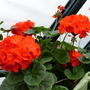 Pelargonium 'Maverick Scarlet'