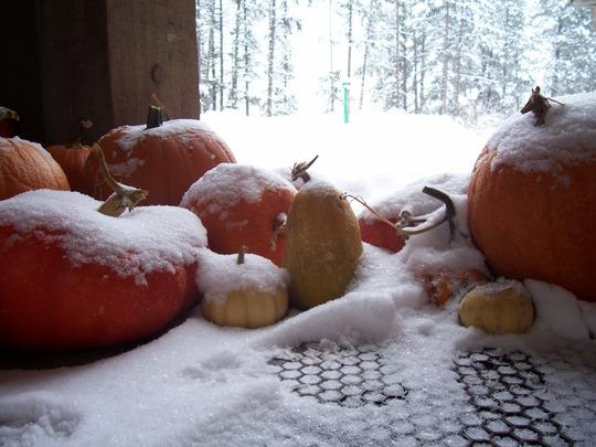 Pumpkins First Snow 08 (Cucurbita maxima)