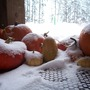Pumpkins First Snow 08 (Cucurbita maxima)