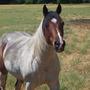 Dirty Paint Horse (Equus Caballus)