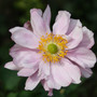 Frilly Japanese anenome