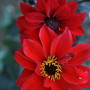 Bishop of LLandaff (Dahlia pinnata (Dahlia))