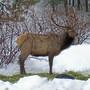 Elk in January eating hay (Cervus elaphus)