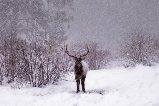 Bull Elk  (Cervus elaphus)