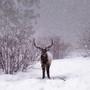 Bull_elk_snow