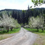 Fruit_trees_driveway_1