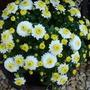 CHRYSANTHS in bloom...