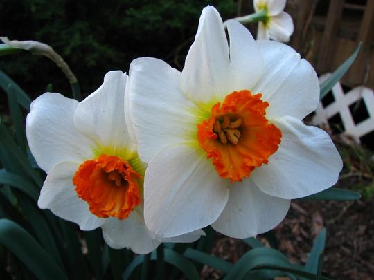 daffodils  'barret browning'