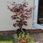 Acer palmatum (Acer palmatum 'Atropurpureum')