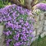 Aubrieta_over_wall