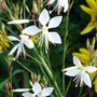 Butterflies of its own.......white Gaura (Gaura lindheimeri (Gaura))