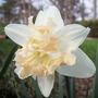 daffodil  'palmares'