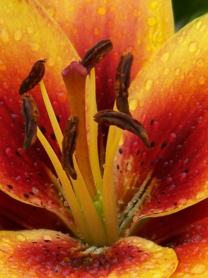 Close up of Grand Cru (Lilium Grand Cru)