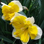 daffodil 'orangery'