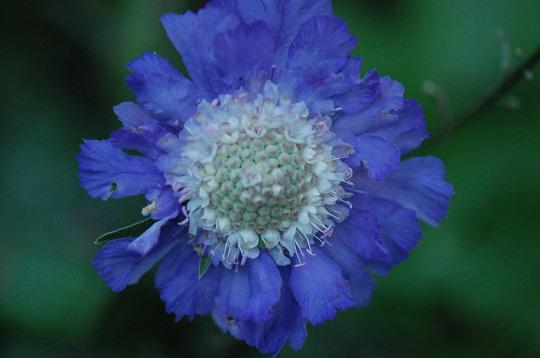 Scabiosa 'Blue' (Scabiosa atropurpurea (Pincushion flower))