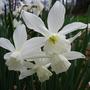 daffodil  'triandus'