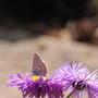 Butterfly on Erigeron 'Azure Fairy'