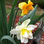 daffodils,  bottom one is 'white lion', top one is unkown