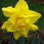 daffodil  'golden ducat'