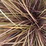 "Carex comans ""Milk Chocolate"""