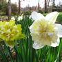 daffodil 'ice king'
