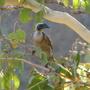 Helmeted_friarbird_philemon_buceroides