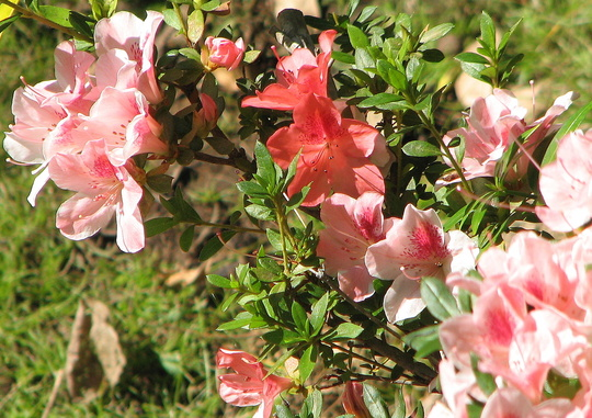 There's more strays on my azalea shrub - for Morgana. (Rhododendron simsii)