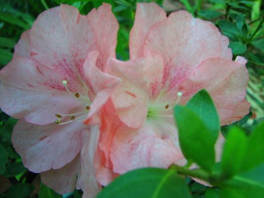 My other azalea. (Rhododendron simsii)