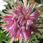 Gomphrena leontopodioides 'Empress' - up very close for Morgana (Gomphrena leontopodioides 'Empress')