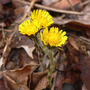 Coltsfoot_4_04_08_good_med