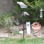 Doves_and_blackbird