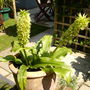 PIneapple Lilly