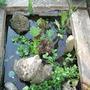 Bog garden (Gunnera magellanica (Gunnera))