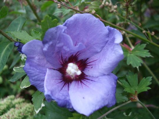 Hibiscus 'L'Oiseau Bleu' (Hibiscus syriacus 'Oiseau Bleu')