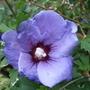 Hibiscus_syriacus_l_oiseau_bleu_