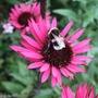 Echinacea 'Fatal Attraction' and friend. (Echinacea purpurea (Coneflower))