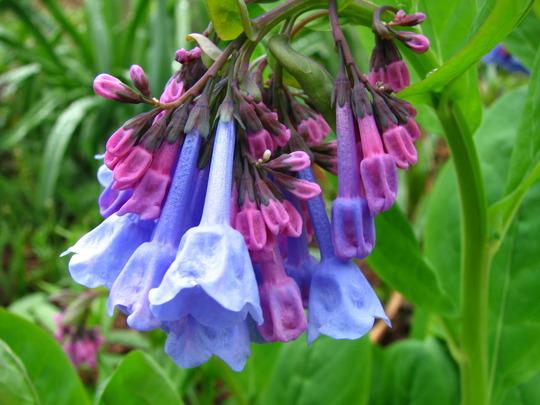virginia bluebell bloom