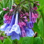 virginia bluebell bloom