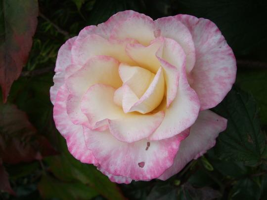 Rosa 'Handel' (Rosa 'Handel')