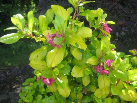 Escallonia__Gold_Brian__folaige_and_flowers.jpg