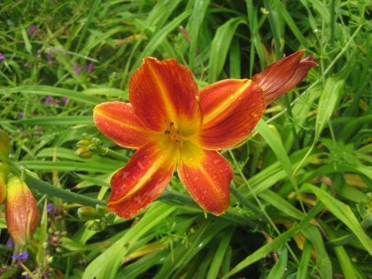Hemerocallis__Holiday_Mood__flower.jpg