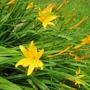 Hemerocallis__Zora__flower.jpg