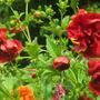Potentilla__Arc_en_Ciel__flowers.jpg
