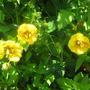 Potentilla__Yellow_Queen__flowers.jpg