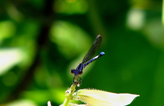 Another photo of bluet  (Damselfly )
