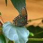 Red spotted purple butterfly (underside of wings )