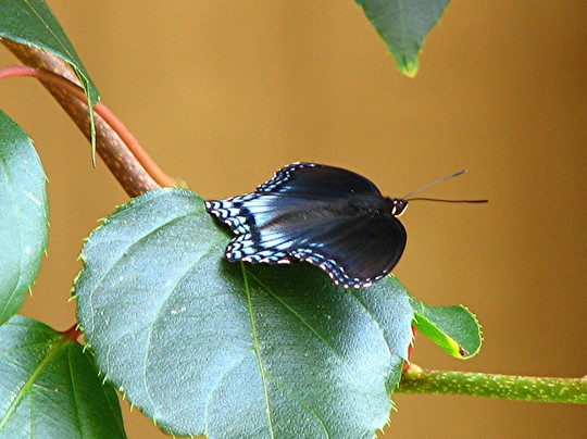 Red spotted purple  (top side of wings )